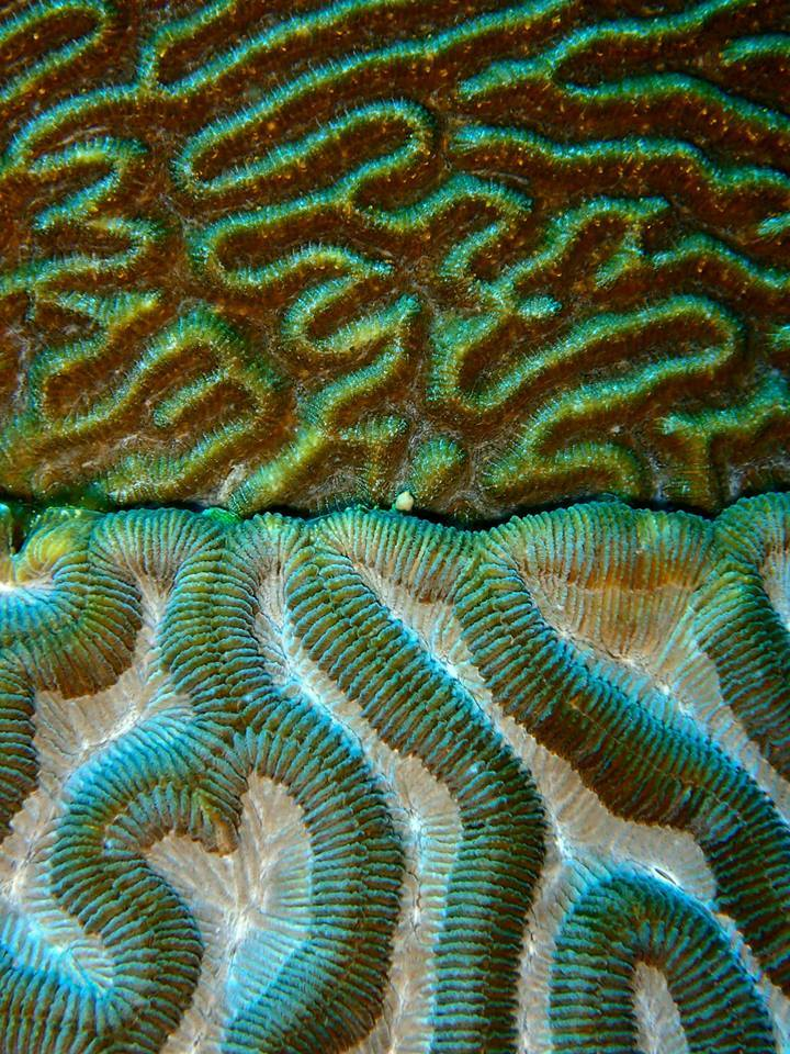 A close-up of the grooves on a brain coral head in the Flower Garden Banks National Marine Sanctuary. Image credit: NOAA