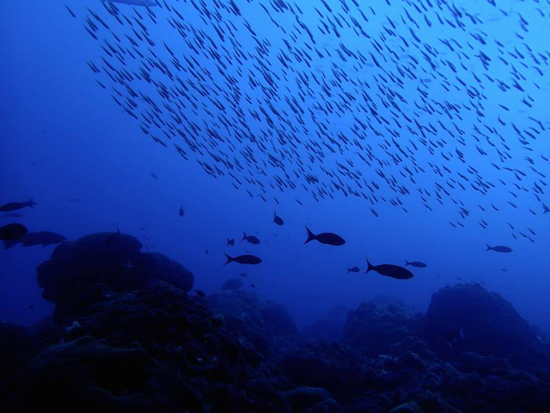 Schools of fish glide over a reef in the Flower Garden Banks National Marine Sanctuary. Image credit: NOAA