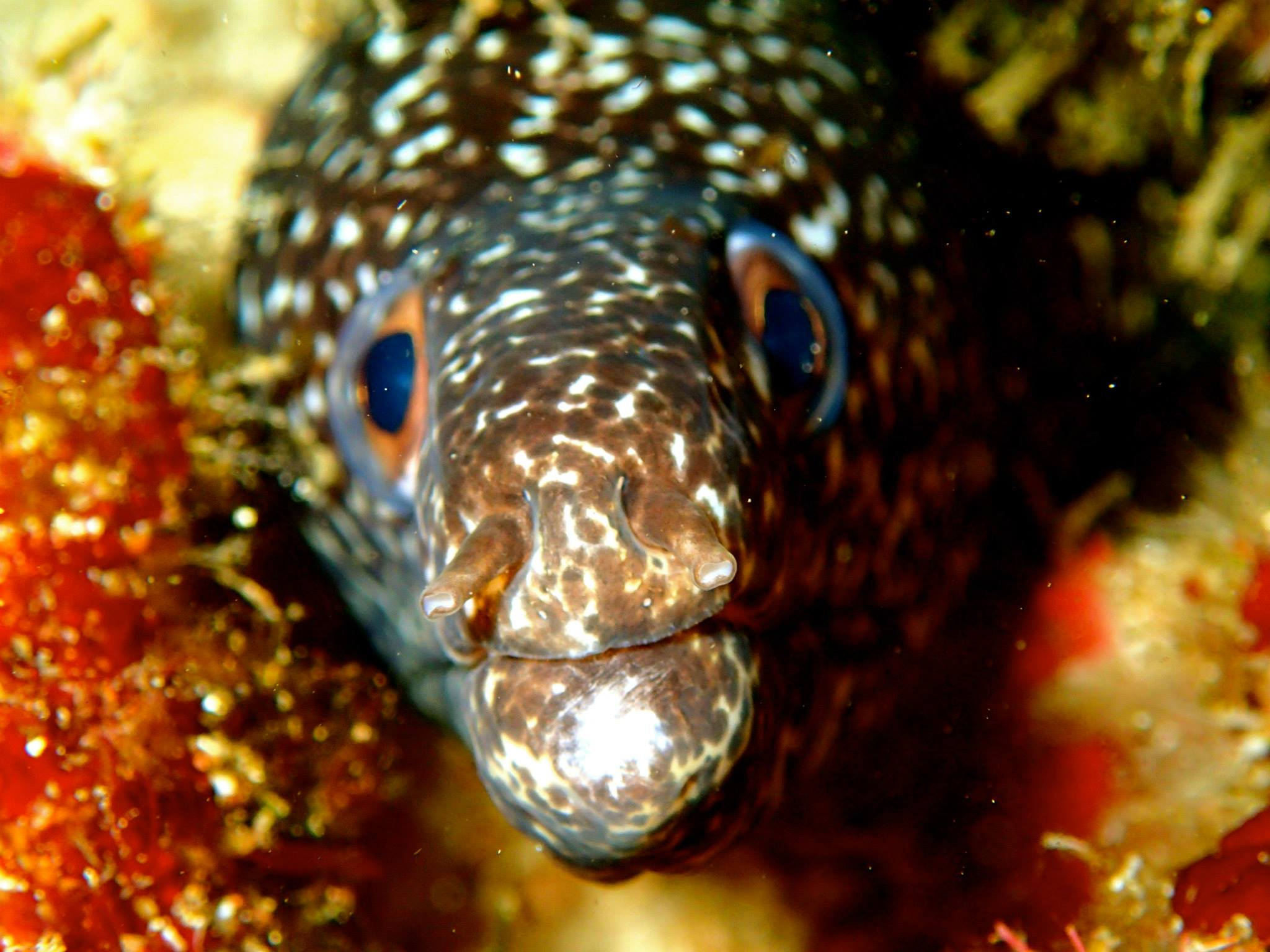 A Spotted eel checks out the camera during a reef dive in the Flower Garden Banks National Marine Sanctuary. Image credit: NOAA
