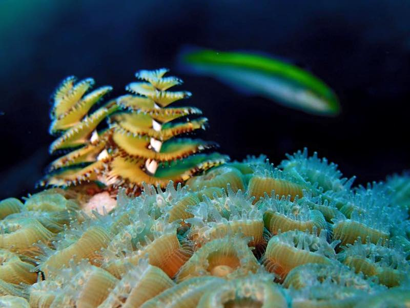 A Christmas Tree worm makes its way across a bed of coral polyps. Image credit: NOAA