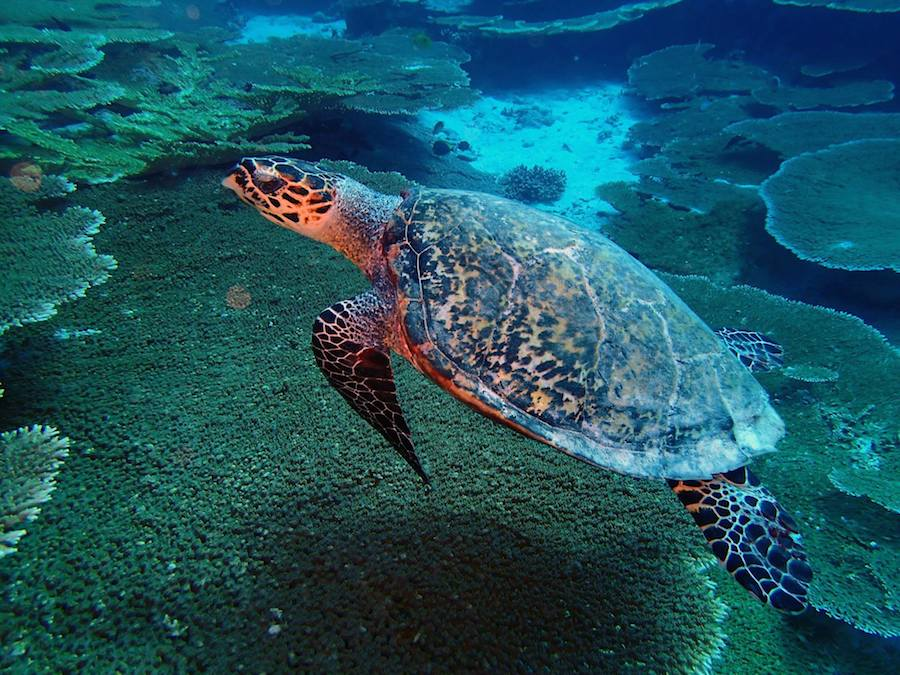 A hawksbill sea turtle (Eretmochelys imbricata) glides over a reef in the Chagos Marine Protected Area.