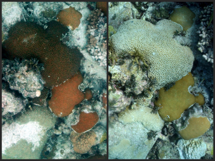 The image on the left shows a coral colony at Cheeca Rocks from July 2013. The image at the right shows the same coral colony in August 2014, with the colony now bleached.