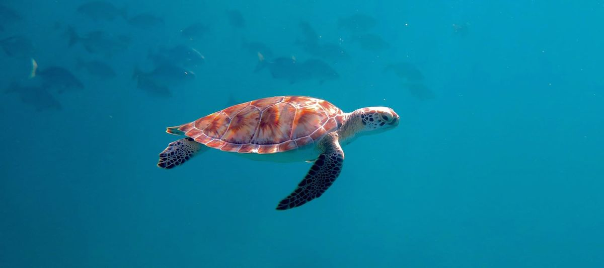 A juvenile green turtle on the reef at Cheeca Rocks. Image credit: NOAA
