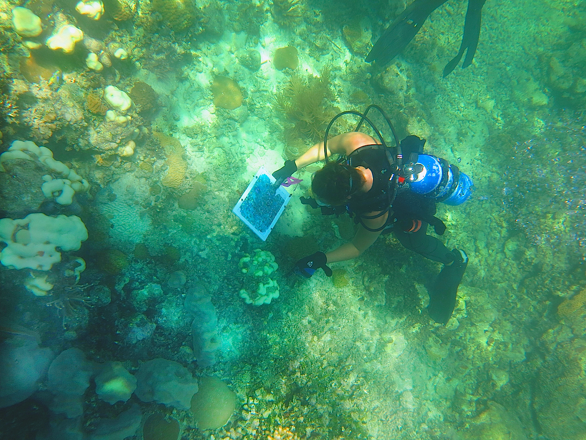 An AOML coral researcher inspects a bleached coral at Cheeca Rocks in the Florida Keys. Image credit: NOAA