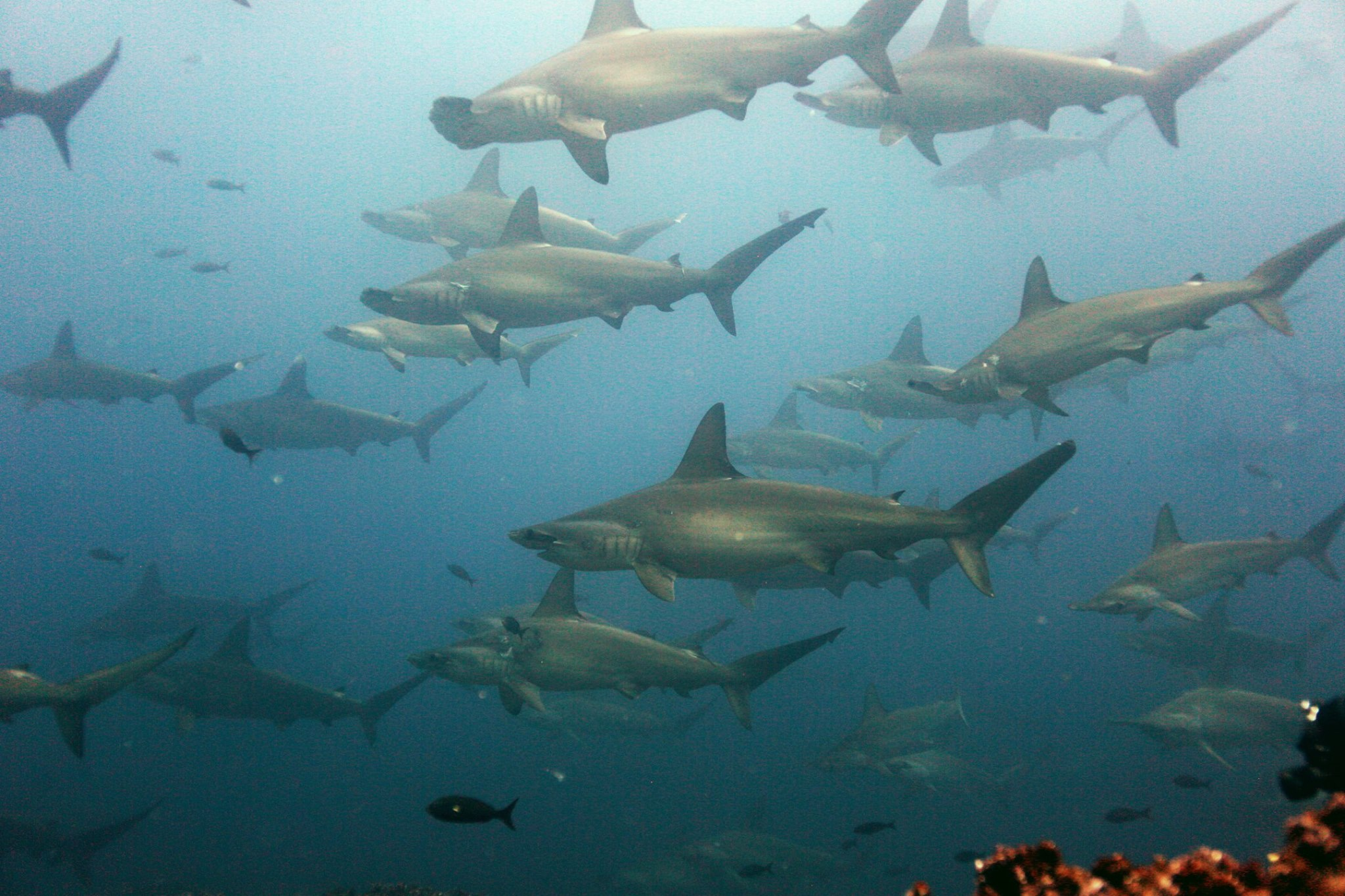 School of scalloped hammerhead sharks encountered by scientists during the research dives. Other species of sharks, pods of dolphins, manta rays, and curious moray eels were also present.