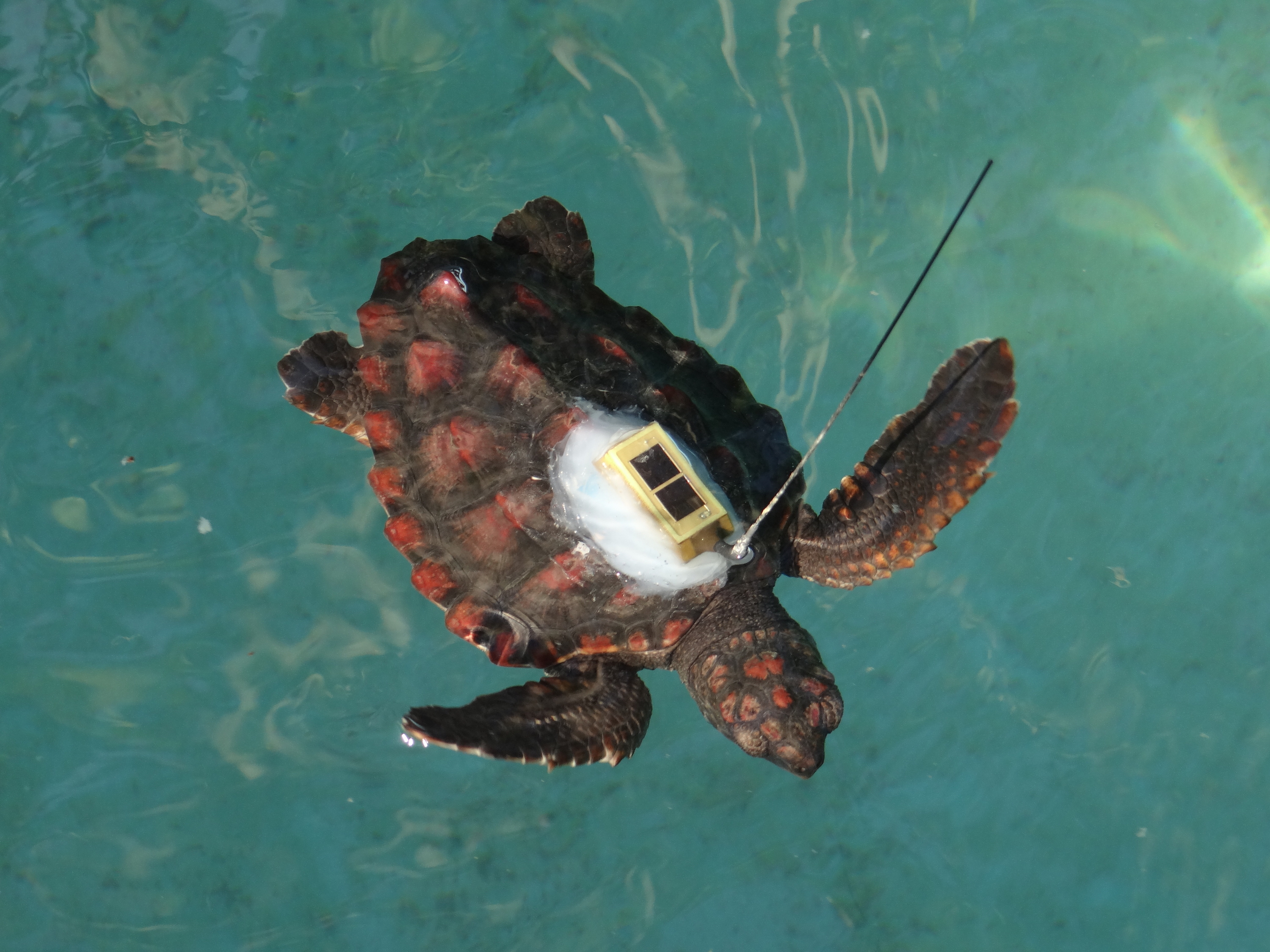 Scientists attached solar-powered satellite tags to the turtles shells in the laboratory. Image credit: NOAA