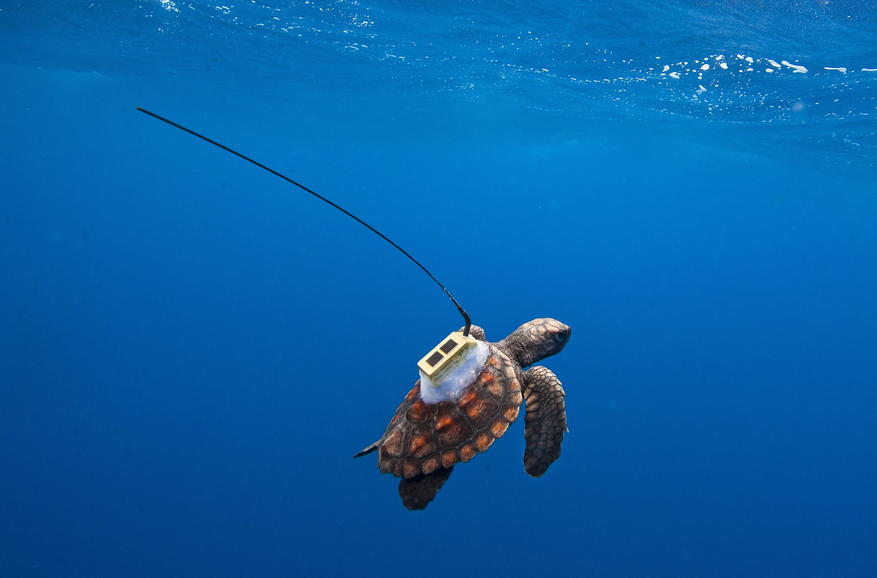 A young loggerhead is released off the coast of Bahia, Brazil. The satellite tag transmitts the turtle's location as it breaks the surface. Image credit: Projecto TAMAR.