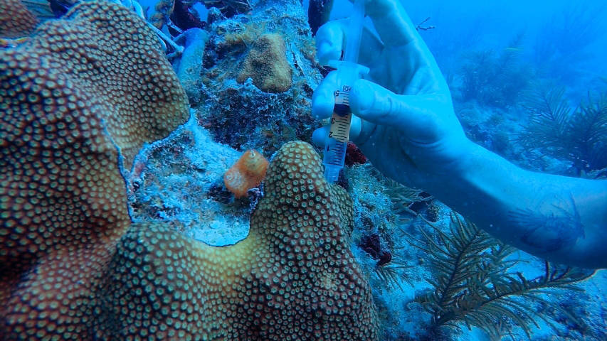 NOAA diver uses a syringe biopsy method to collect samples of coral tissue for genetic microbial sourcetracking and analysis. Image credit: NOAA
