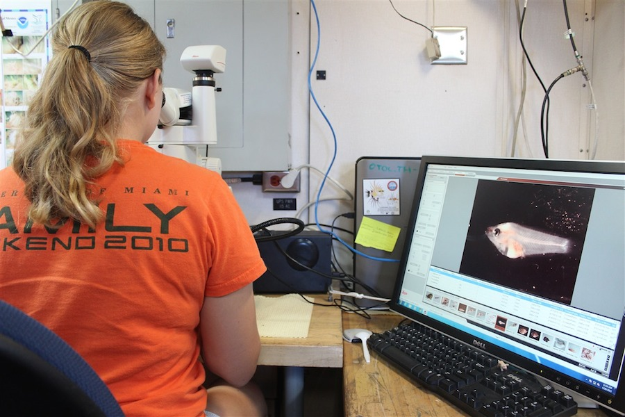 Kathryn Doering examines larvae under the microscope. Image credit: NOAA