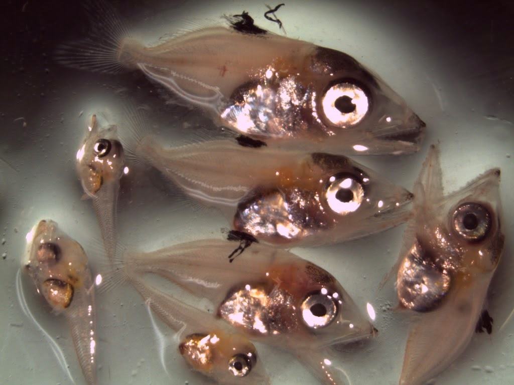 Atlantic bluefin tuna larvae collected on the Mesoamerican Barrier Reef. Image Credit: NOAA