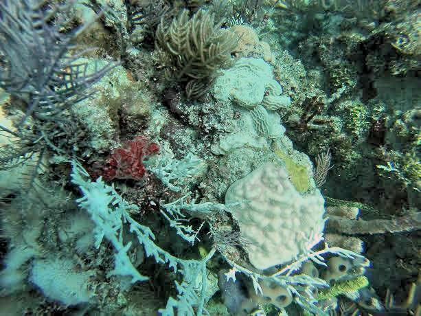 Completely bleached Millepora alcicornis, Agaricia agaricites and Porites asteroides colonies at Horseshoe Reef in the Florida Keys. Image credit: NOAA