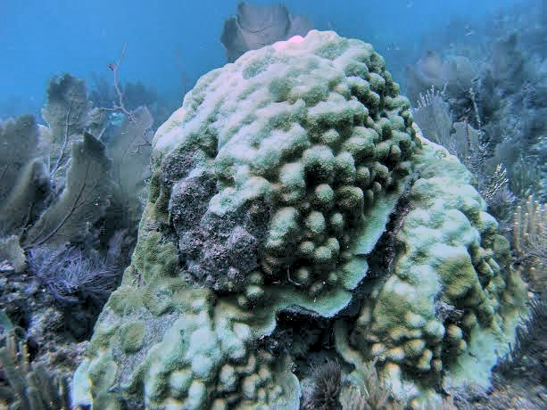 Orbicella faveolata colony starting to bleach at Horseshoe Reef in the Florida Keys. Image credit: NOAA