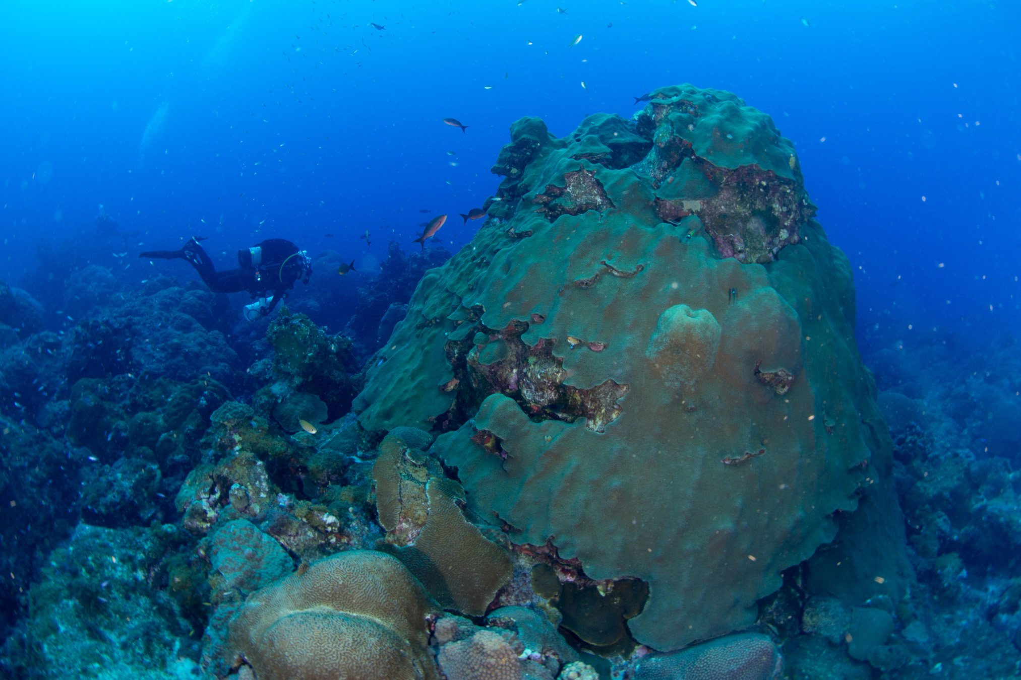 An adult colony of Orbicella faveolata, an important reef-building coral that forms large mountainous colonies, is currently listed as threatened under the ESA. Image credit: NOAA