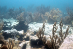 Extensive bleaching of the soft coral Palythoa caribaeorum on Emerald Reef, Key Biscayne, FL. Image credit: NOAA