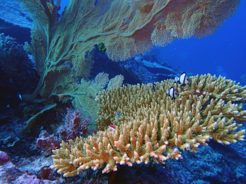 An Acropora colony in the Chagos archipelago. Photo credit: Lauren Valentino, NOAA