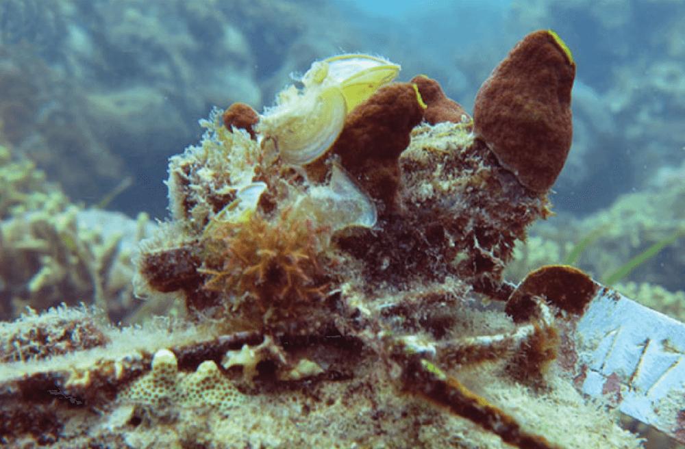 Coral Skeleton covered in reef organisms