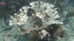 Partially bleached Acropora palmata colony at Little Grecian Rocks in the Florida Keys. Image credit: NOAA