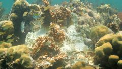 Bleached fire coral (Millepora alcicornis) in Biscayne National Park. Image credit: NOAA