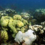 Coral bleaching occurring in coral colonies at Cheeca Rocks in the Florida Keys. Image credit: NOAA