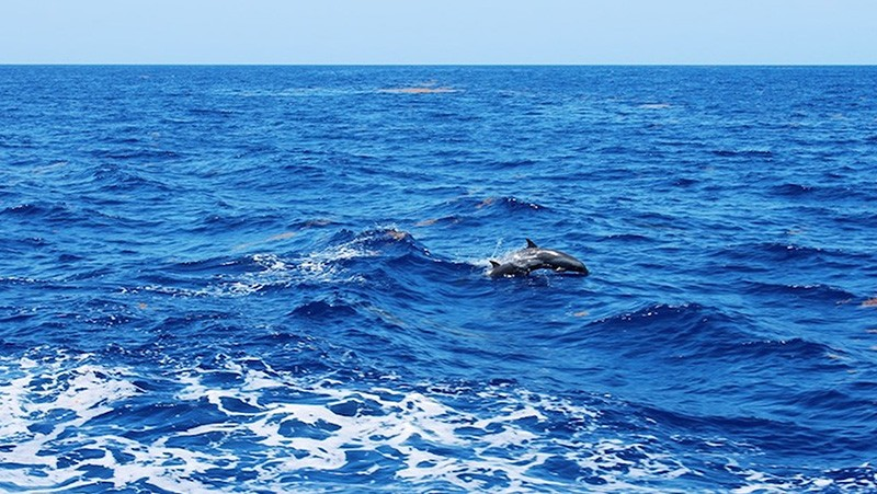 A pair of bottlenose dolphins cruising behind the Nancy Foster. Image credit: NOAA