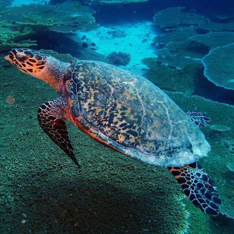 A hawksbill sea turtle (Eretmochelys imbricata) glides over a reef in the Chagos Marine Protected Area. Photo credit: Lauren Valentino, NOAA