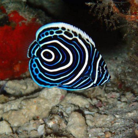 Juvenile Emperor Angelfish (Pomacanthus imperator). Photo credit: Lauren Valentino, NOAA
