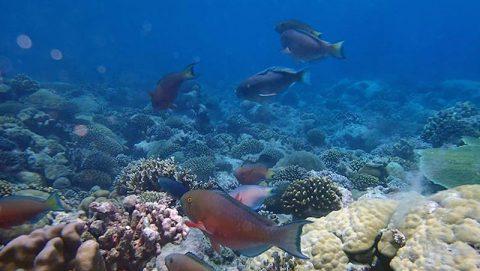 Reefscape in Chagos archipelago. Photo credit: Lauren Valentino, NOAA