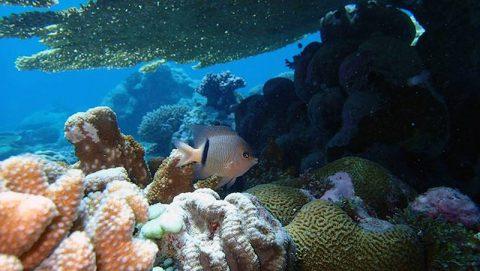 A reefscape in Chagos archipelago. Photo credit: Lauren Valentino, NOAA