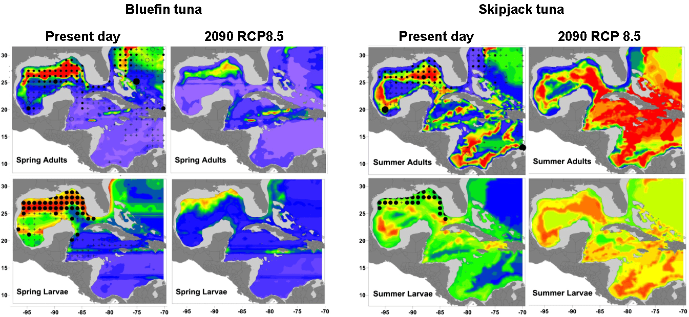 Kriged predicted probabilities of occurrence for adult and larval (left panels) bluefin tuna in spring and (right panels) skipjack tuna in summer. Results are shown for the 2000s, and for 2090, under RCP 8.5. Observed data from the ICCAT Task II database (adults) and SEAMAP plankton surveys (larvae) are also shown for the same time period (postmaps). Locations where adults were recorded, but eff ort was low, are shown as open circles.